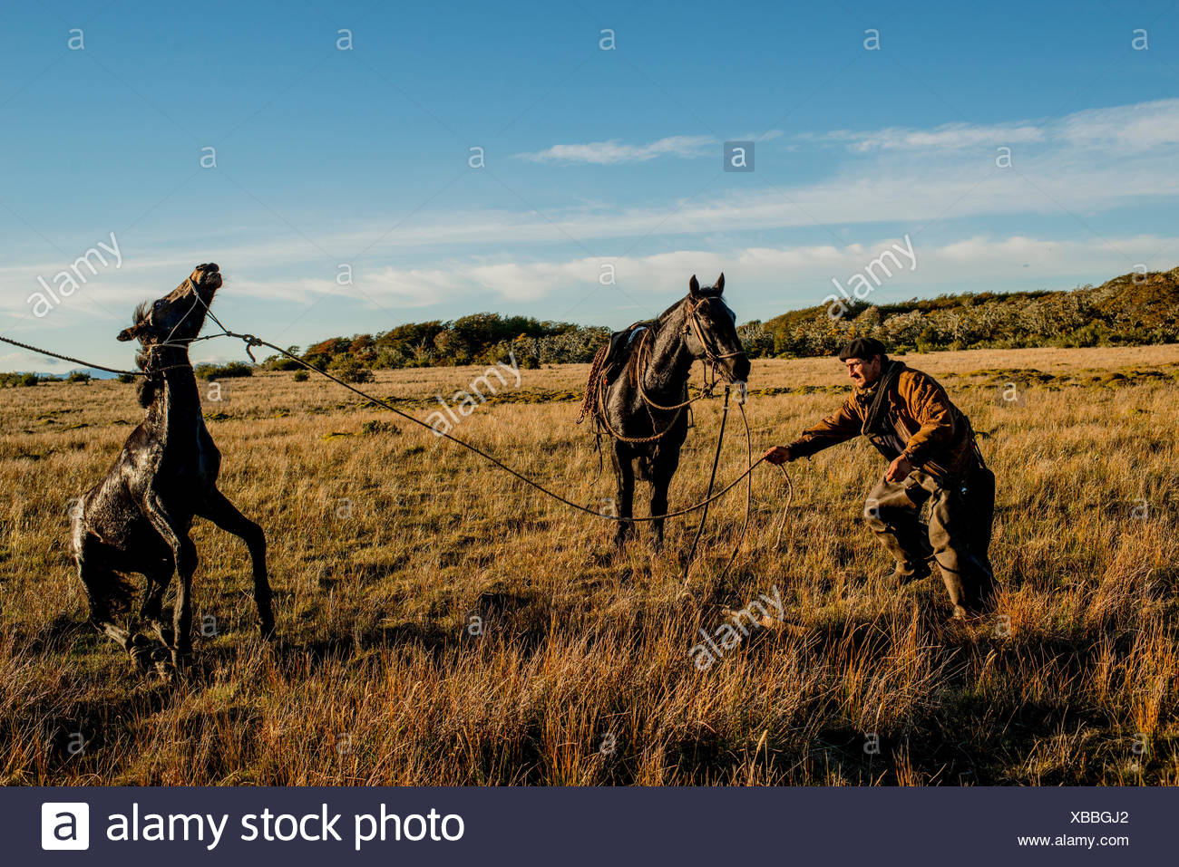 A bagualero, a cowboy who captures feral livestock, tries to take his boleadora, a throwing device with weights at each end, for capturing wild animals, from the legs of a captured foal. - Stock Image