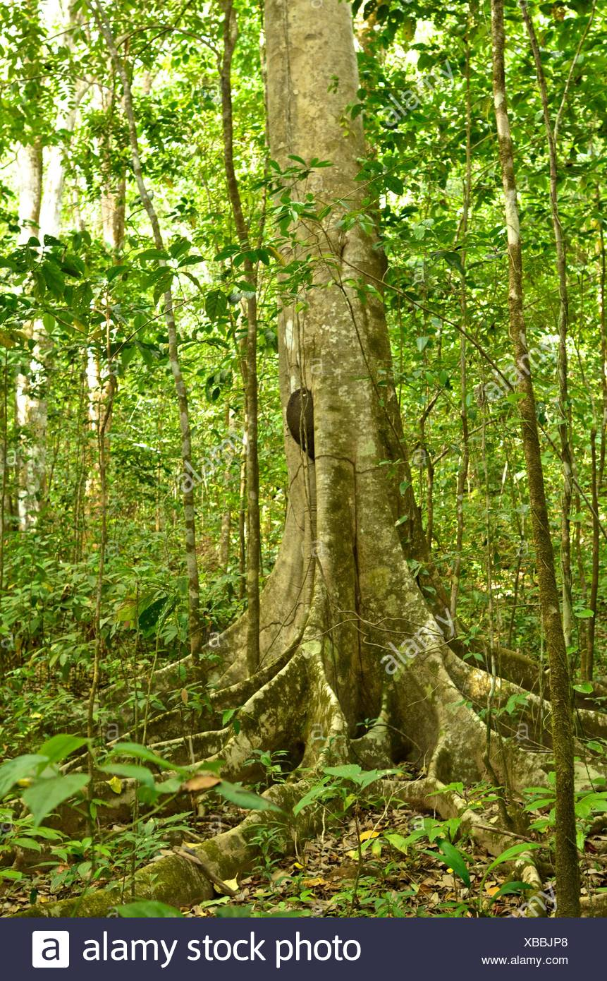 Primary forest in Corcovado National Park. - Stock Image