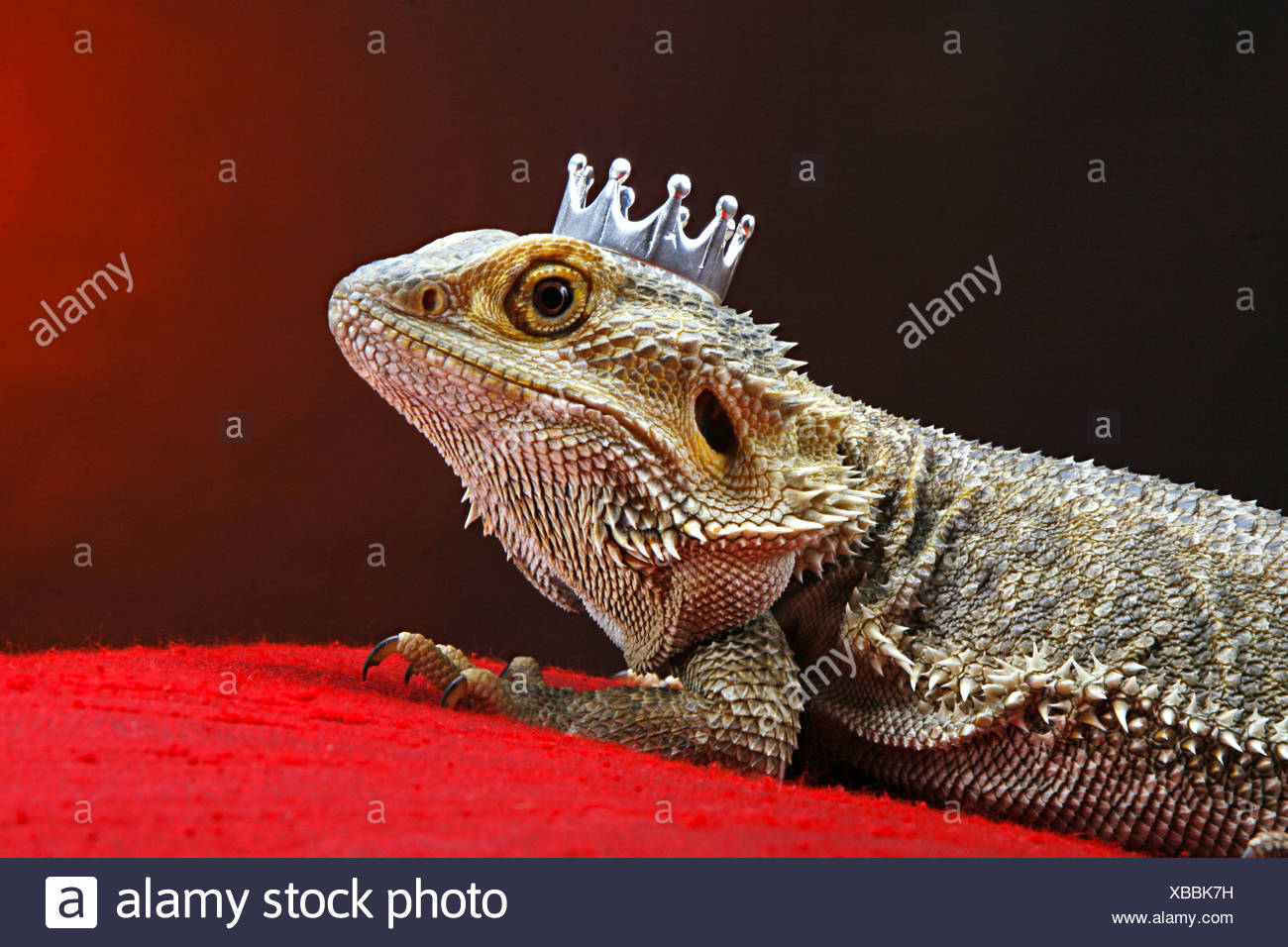 Central Bearded Dragon with crown - Stock Image