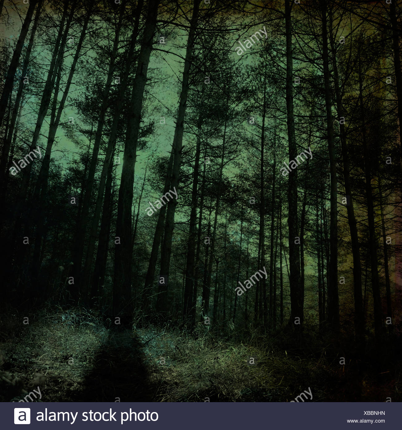 A dark wood with pine trees - Stock Image
