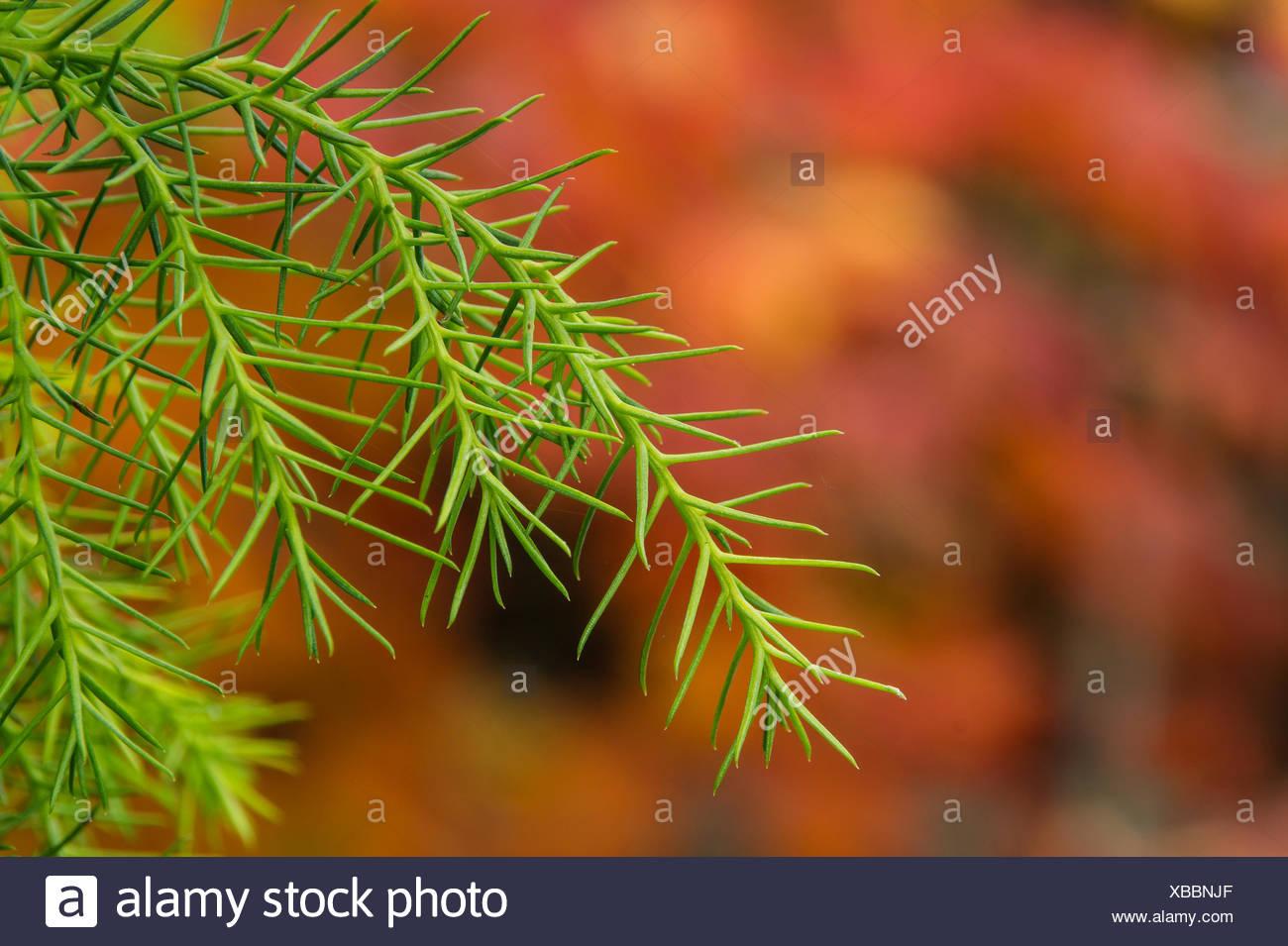 Japanese cedar - Stock Image