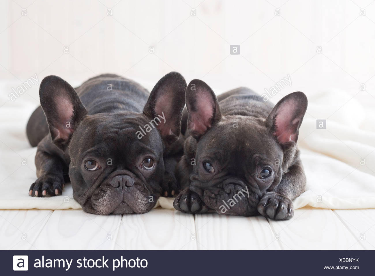 Two french bulldog snuggling on a blanket - Stock Image