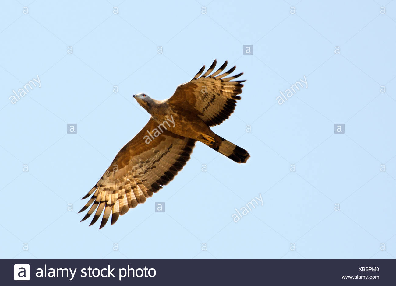 Crested Honey Buzzard, Oriental honey buzzard (Pernis ptilorhynchus), in flight, India, Madhya Pradesh - Stock Image