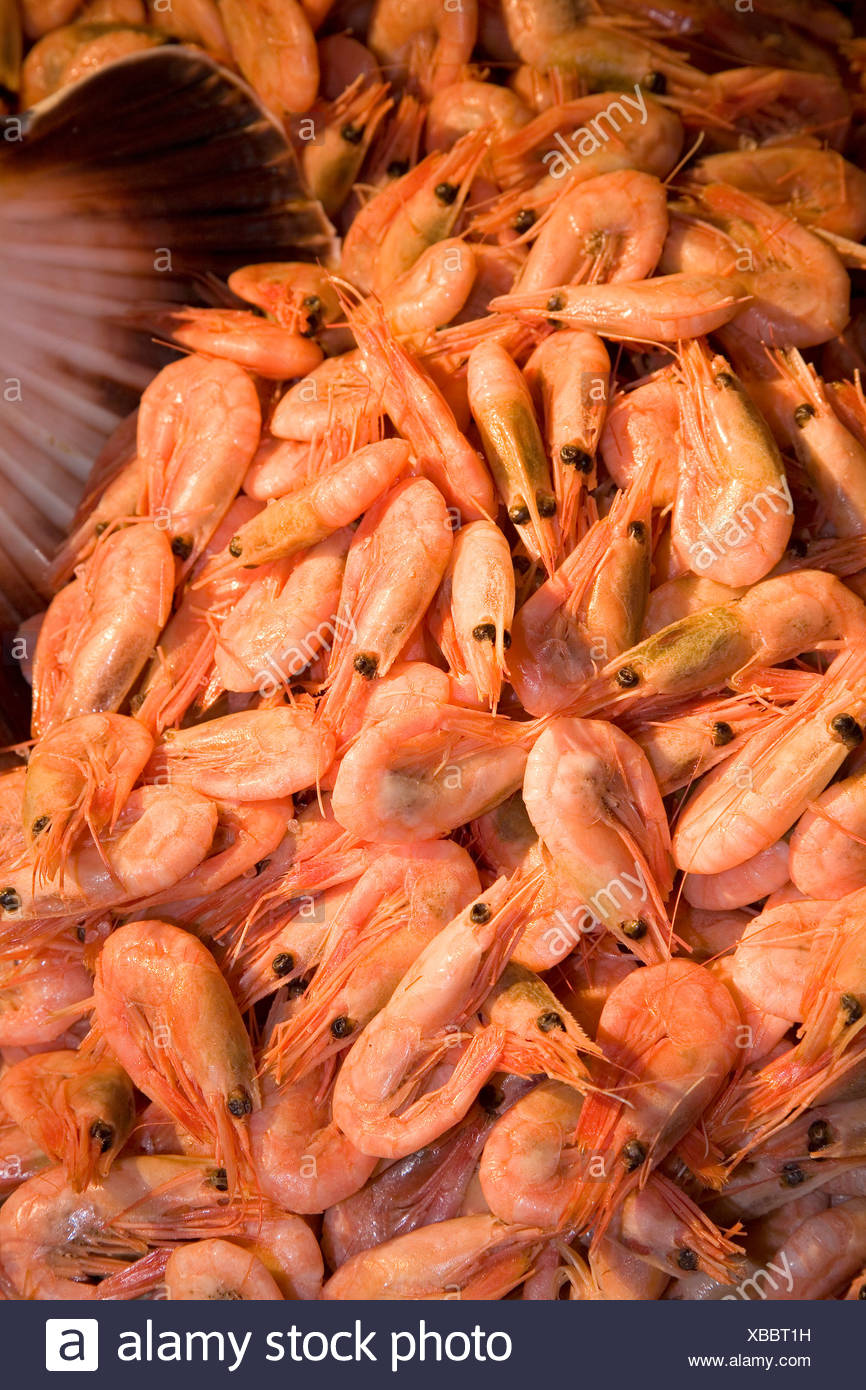 Cooked Shrimps Stromsholmen Atlantic Ocean Norway - Stock Image