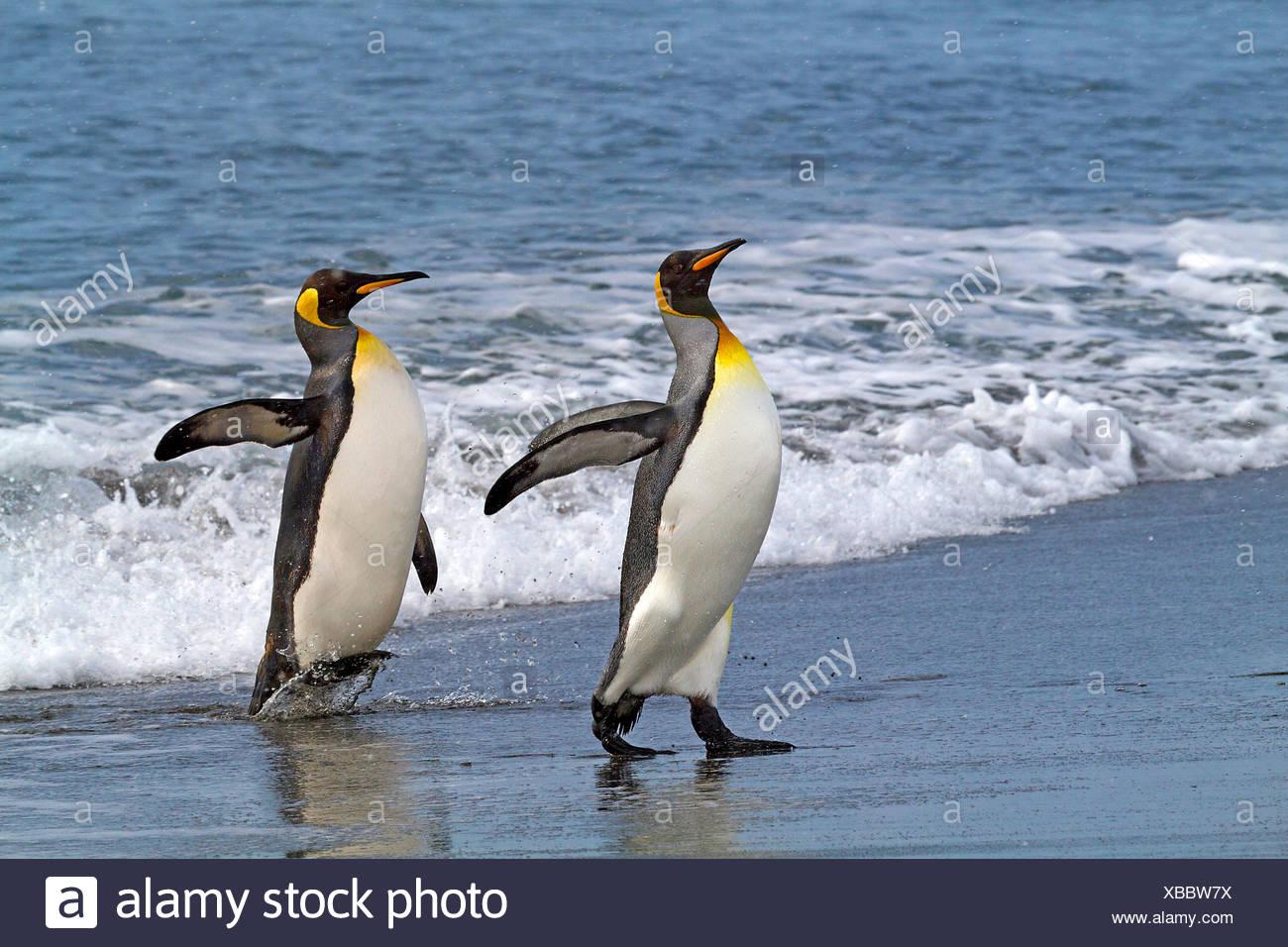 king penguin (Aptenodytes patagonicus), two king penguins going on shore, Antarctica, Suedgeorgien, St. Andrews Bay - Stock Image
