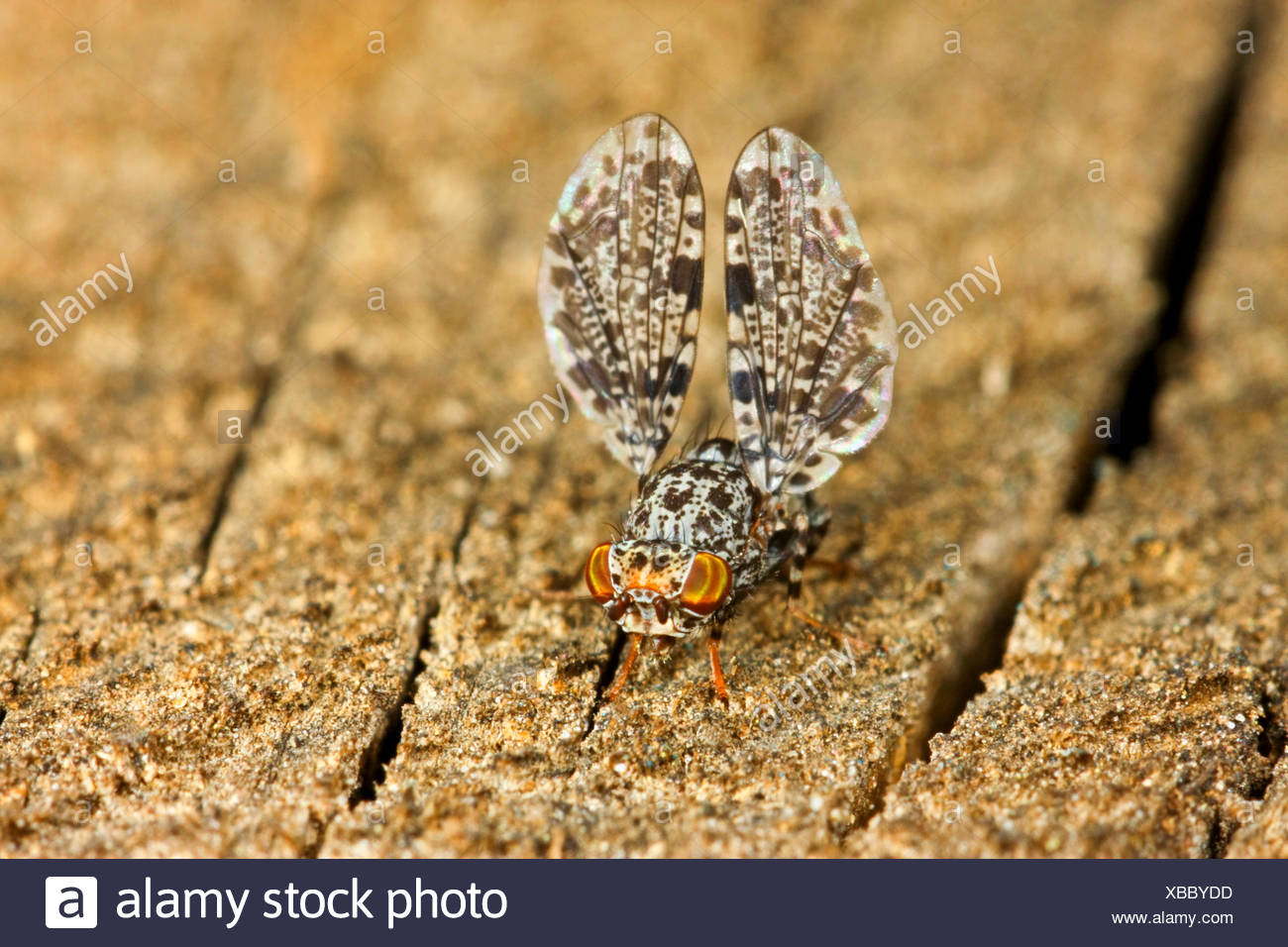 Peacock Fly, Peacock-Fly (Callopistromyia annulipes), male with typical wing movement, Germany - Stock Image