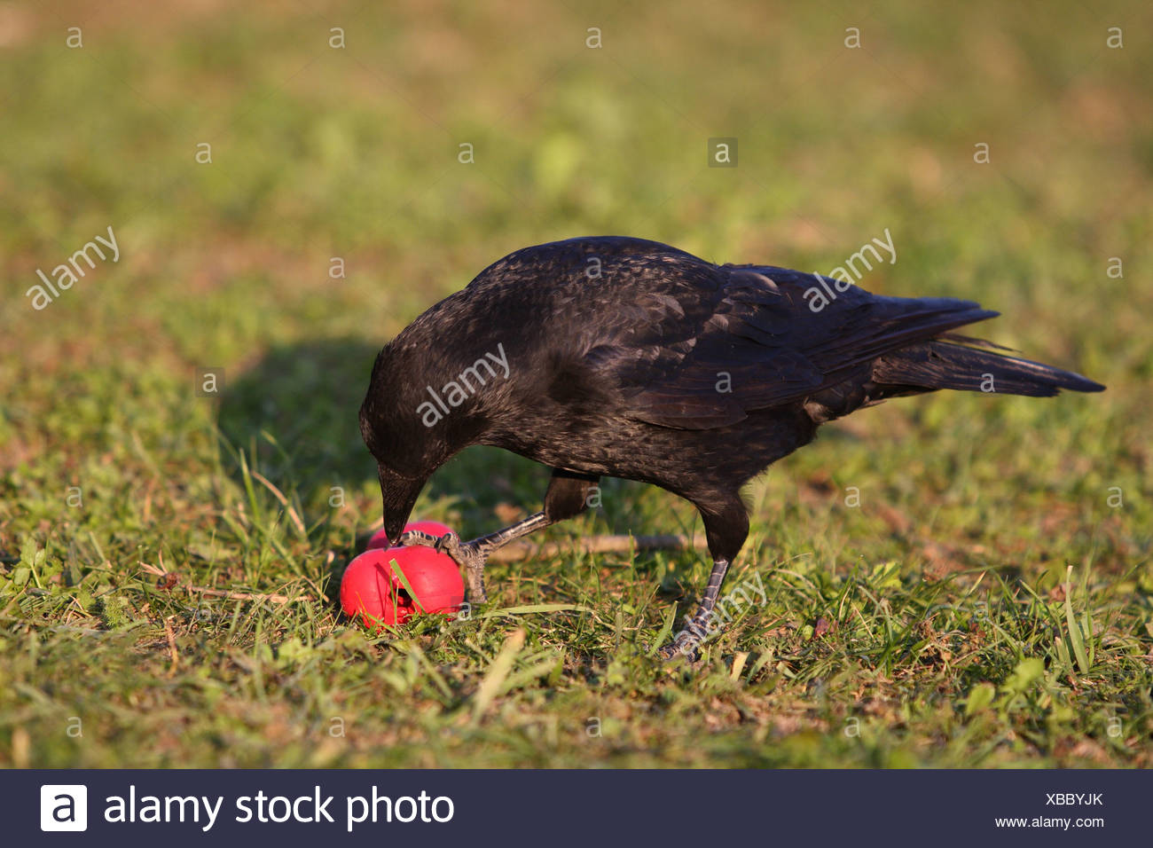 crow - Stock Image