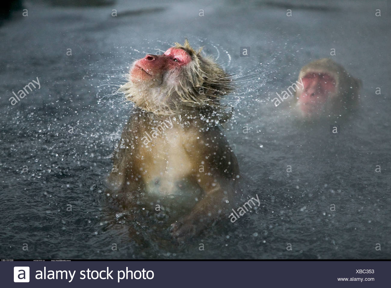 Snow monkey shaking off water Jigokudani National Park Japan - Stock Image