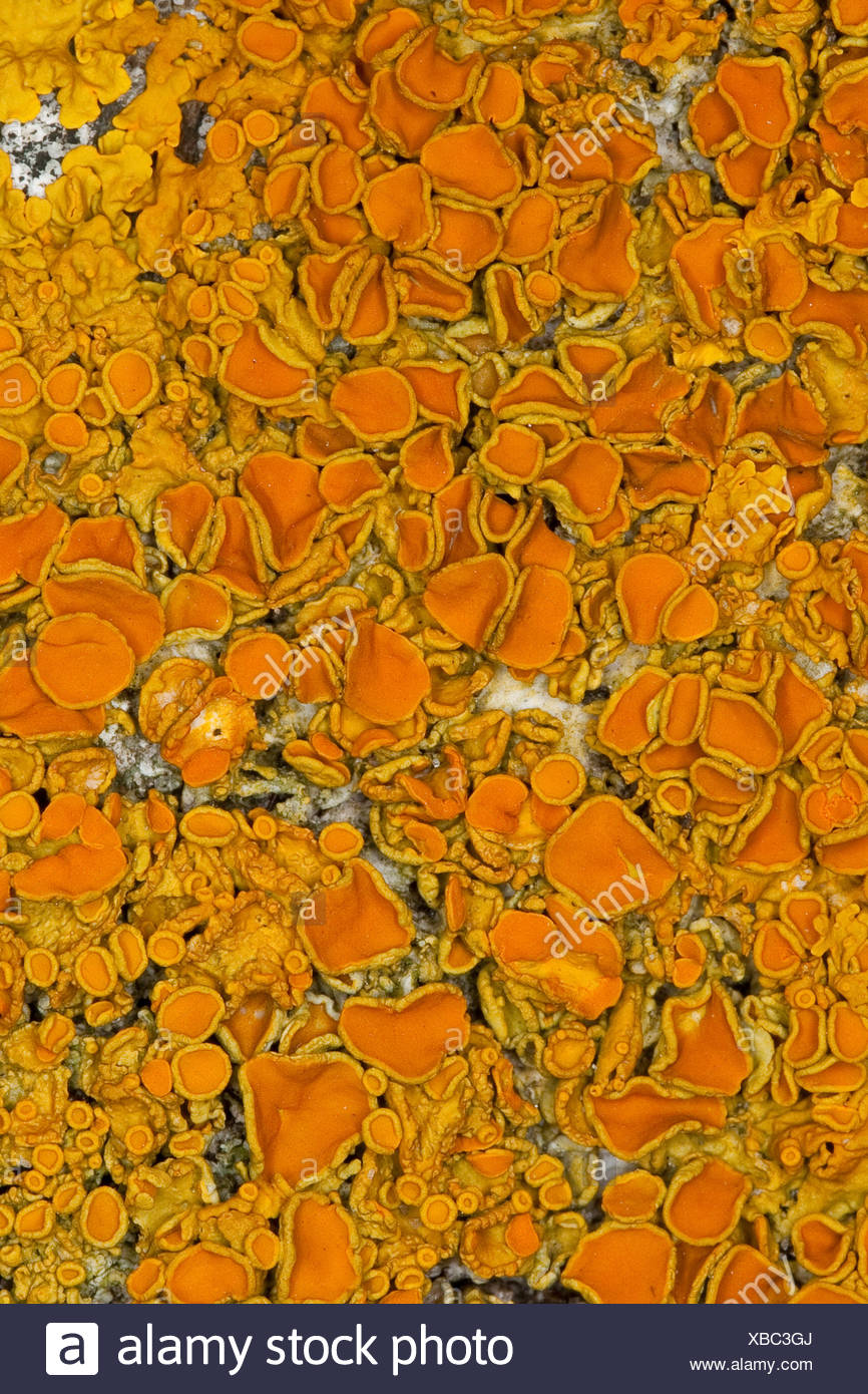 Common orange lichen, Yellow scale, Maritime sunburst lichen, Shore lichen, Golden shield lichen (Xanthoria parietina, Parmelia parietina), on a coastal rock of the Baltic Sea, Germany - Stock Image