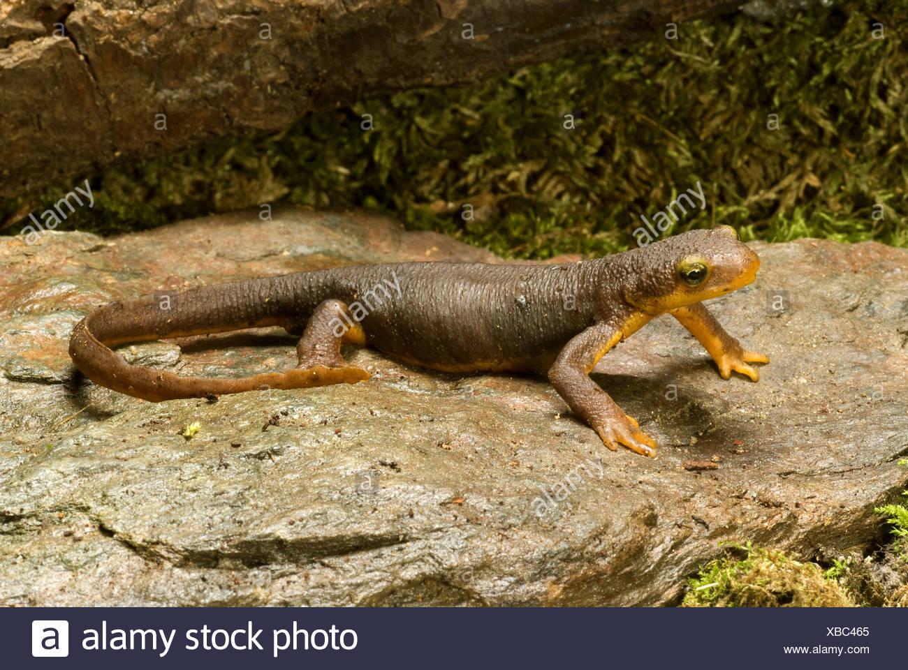 California newt (Taricha torosa), on a stone Stock Photo