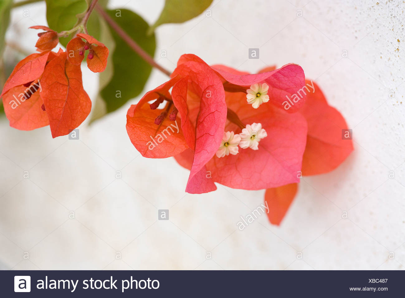 Detail of a Bougainvillea blossom - Stock Image
