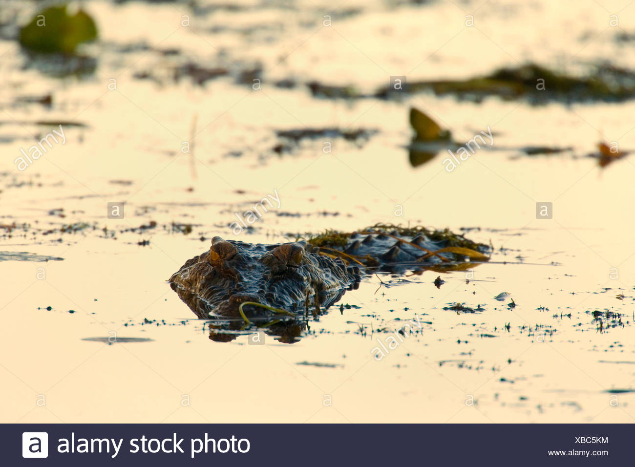 saltwater crocodile, estuarine crocodile (Crocodylus porosus), big Saltwater Crocodile lying in wait for prey in a billabong in a swamp. Only the eyes and part of its snout are visivle while the rest is under water, Australia, Northern Territory - Stock Image