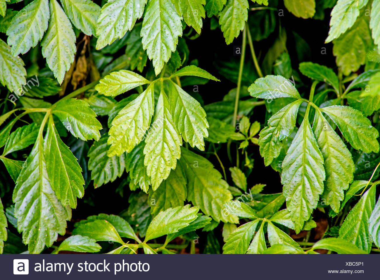 Teepflanze Jiaogulan Gynostemma