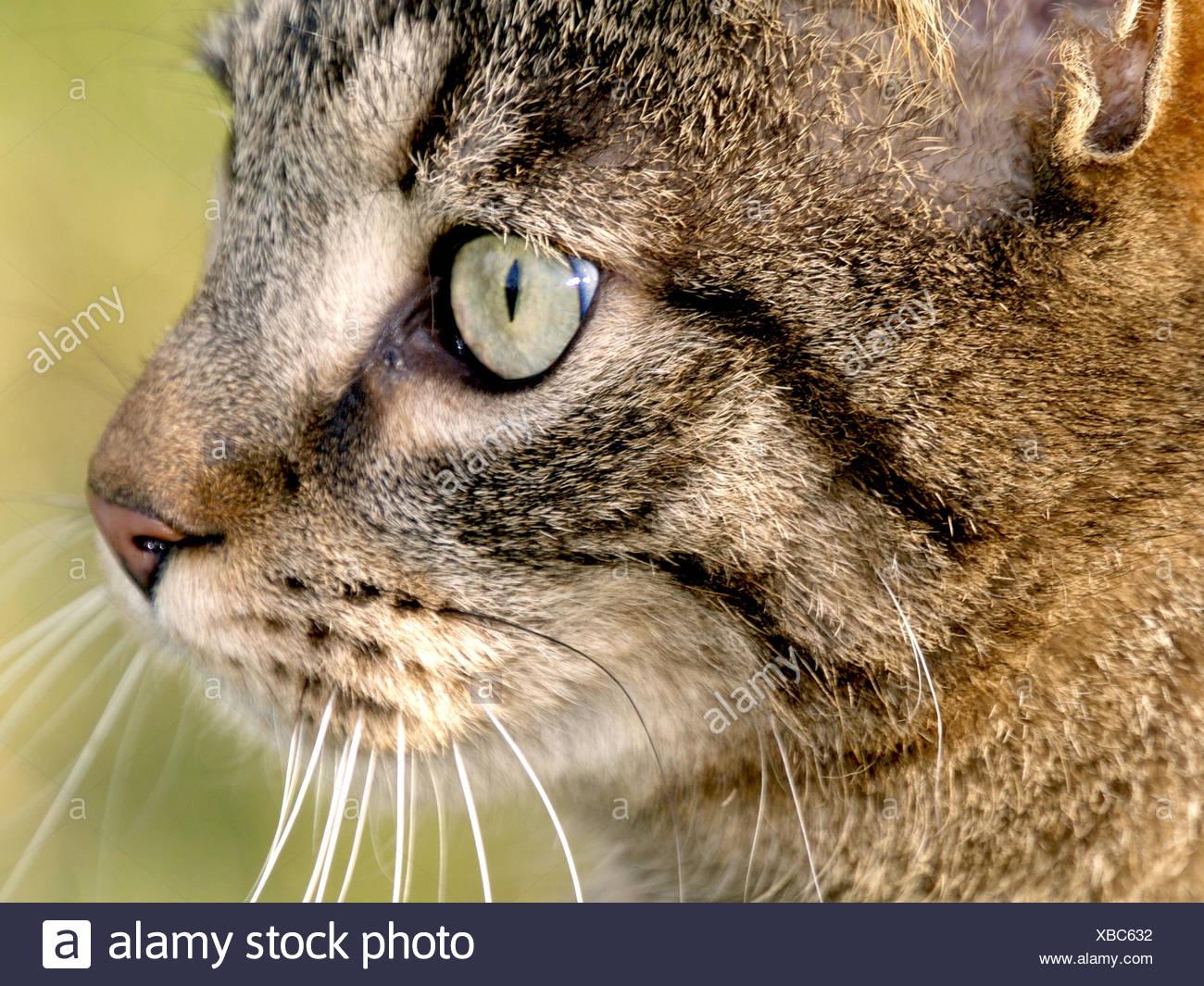 Tom Cat Stock Photo