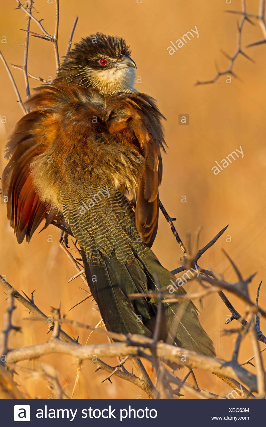 white-browed coucal (Centropus superciliosus burchelli), sitting on a branch, South Africa, Krueger National Park, Satara Camp - Stock Image