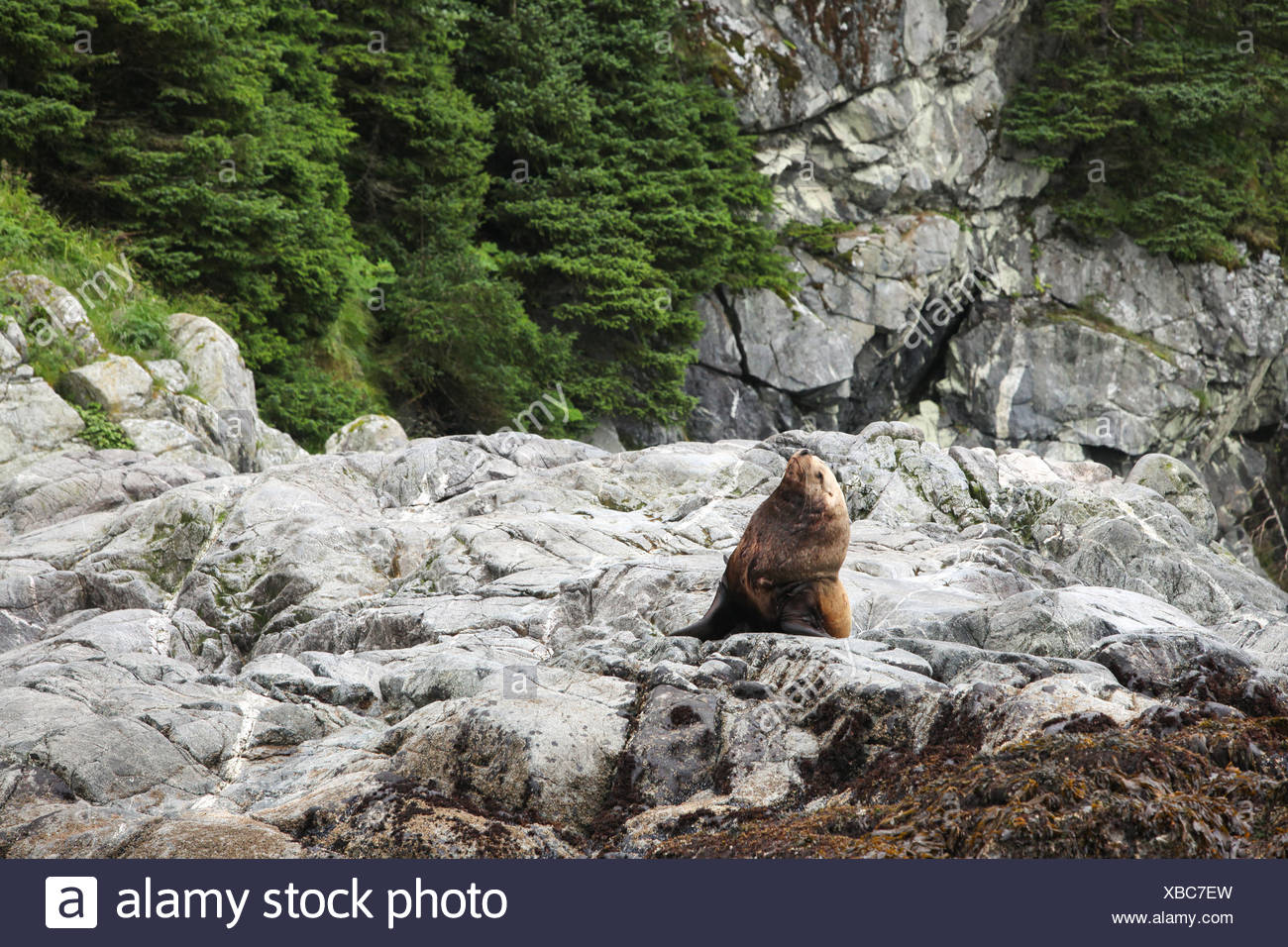 A sea lion sits and stretches on a rocky shoreline. - Stock Image