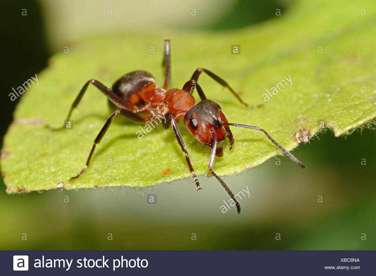 Southern wood ant, Horse ant (Formica rufa), on a leaf, Germany Stock Photo