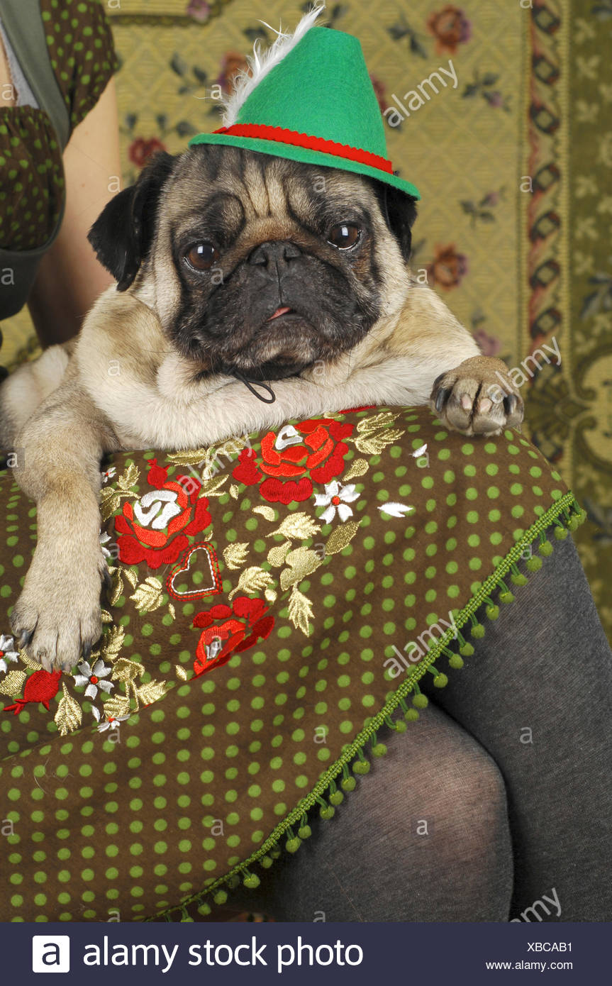 Pug (Canis lupus f. familiaris), wearing a Tyrolean hat - Stock Image