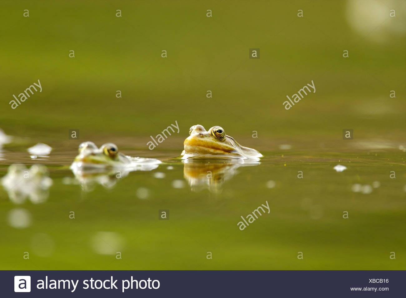 Mating frogs in water, Danube Delta, Romania - Stock Image