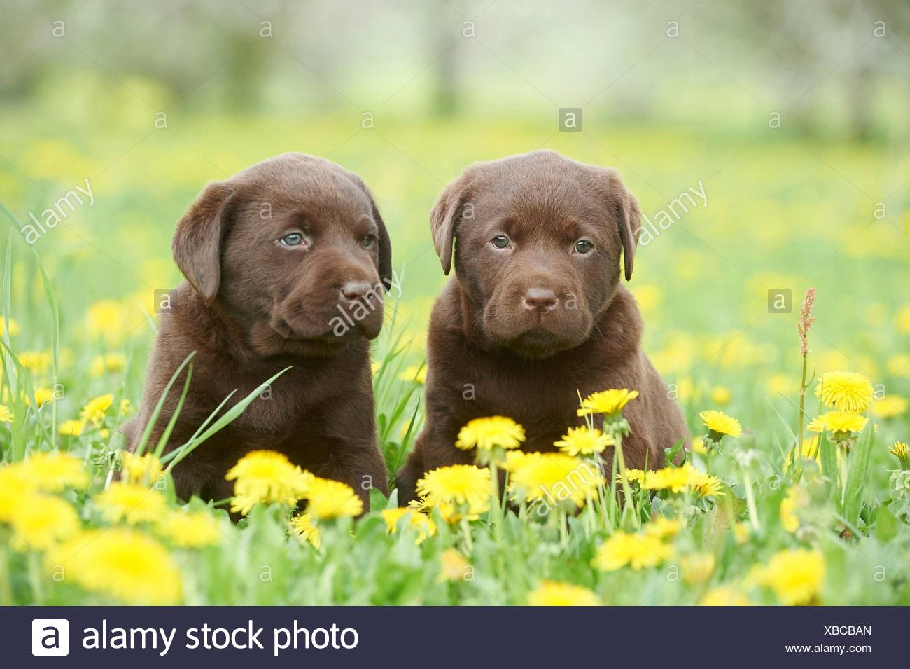 Labrador puppies, Upper Palatinate, Bavaria, Germany, Europe - Stock Image