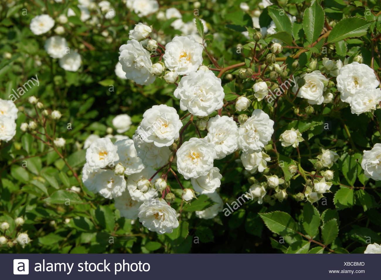 rosa schneewittchen shrub rose stock photo 282399725 alamy. Black Bedroom Furniture Sets. Home Design Ideas
