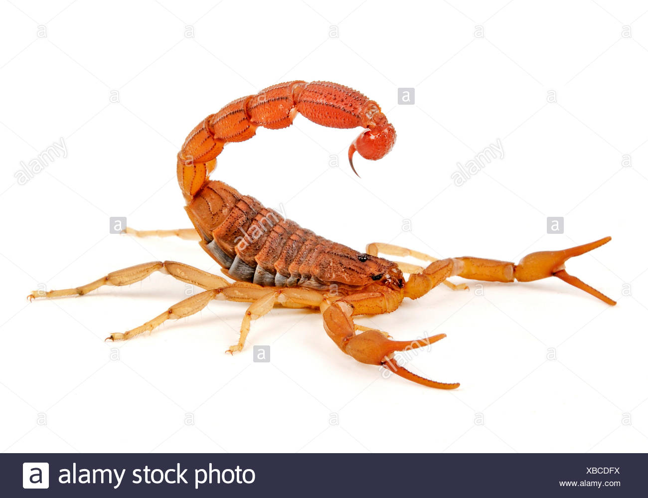 red African scorpion (Hottentotta hottentotta), parthenogenetic reproducing scorpion from Africa, probably the most venomous scorpion worldwide - Stock Image