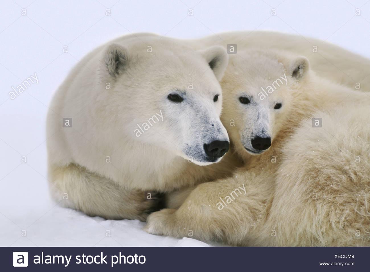 Hudson Bay Canada Polar bear with cub Ursus maritimus Hudson Bay - Stock Image
