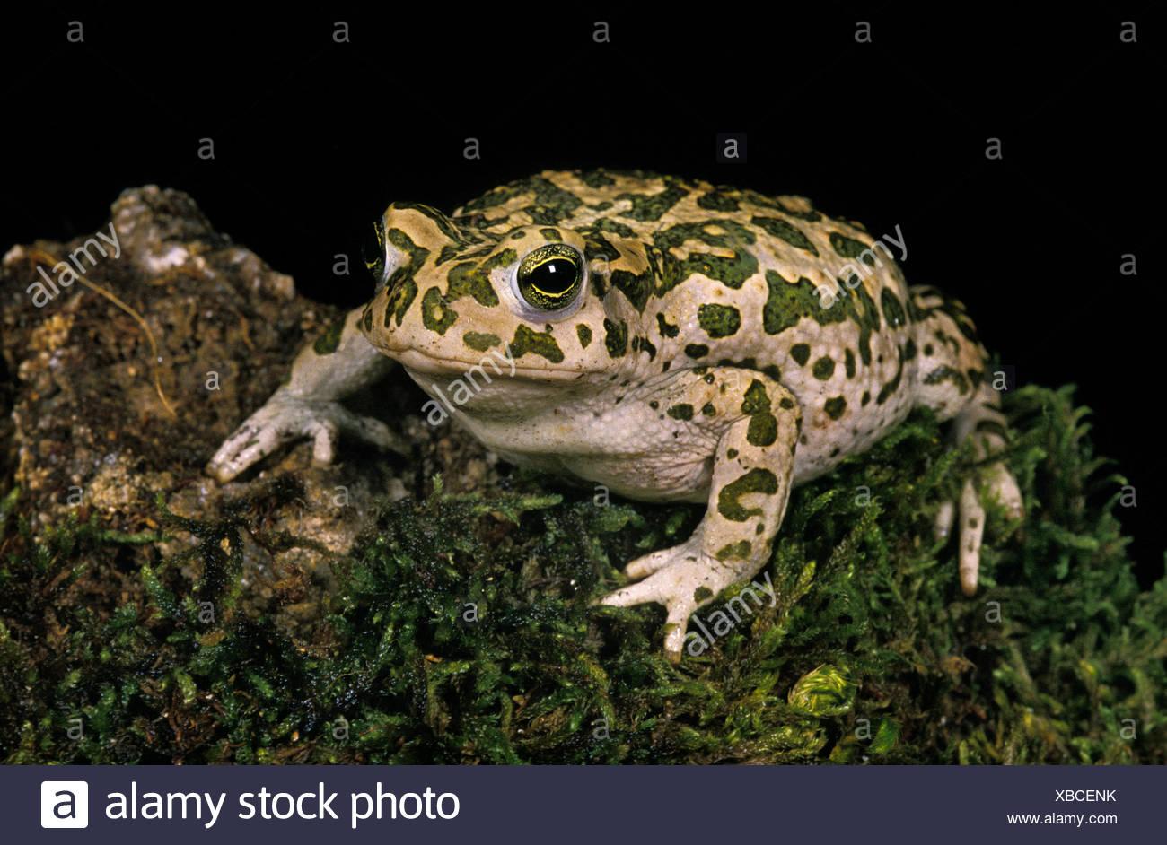 Green Toad, bufo viridis - Stock Image