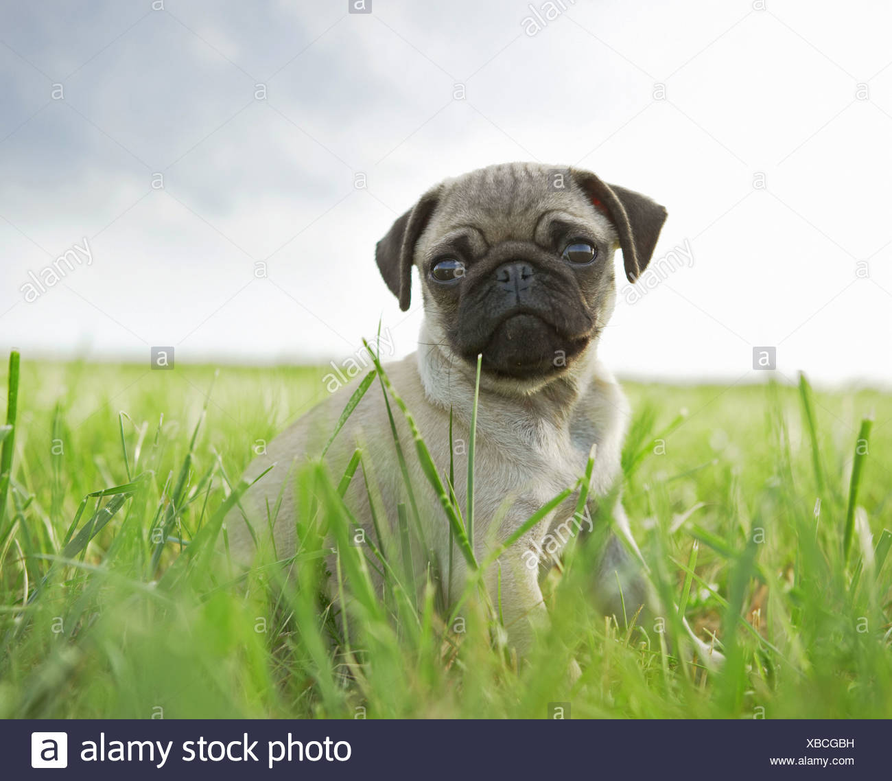 pug dog - puppy sitting on meadow Stock Photo