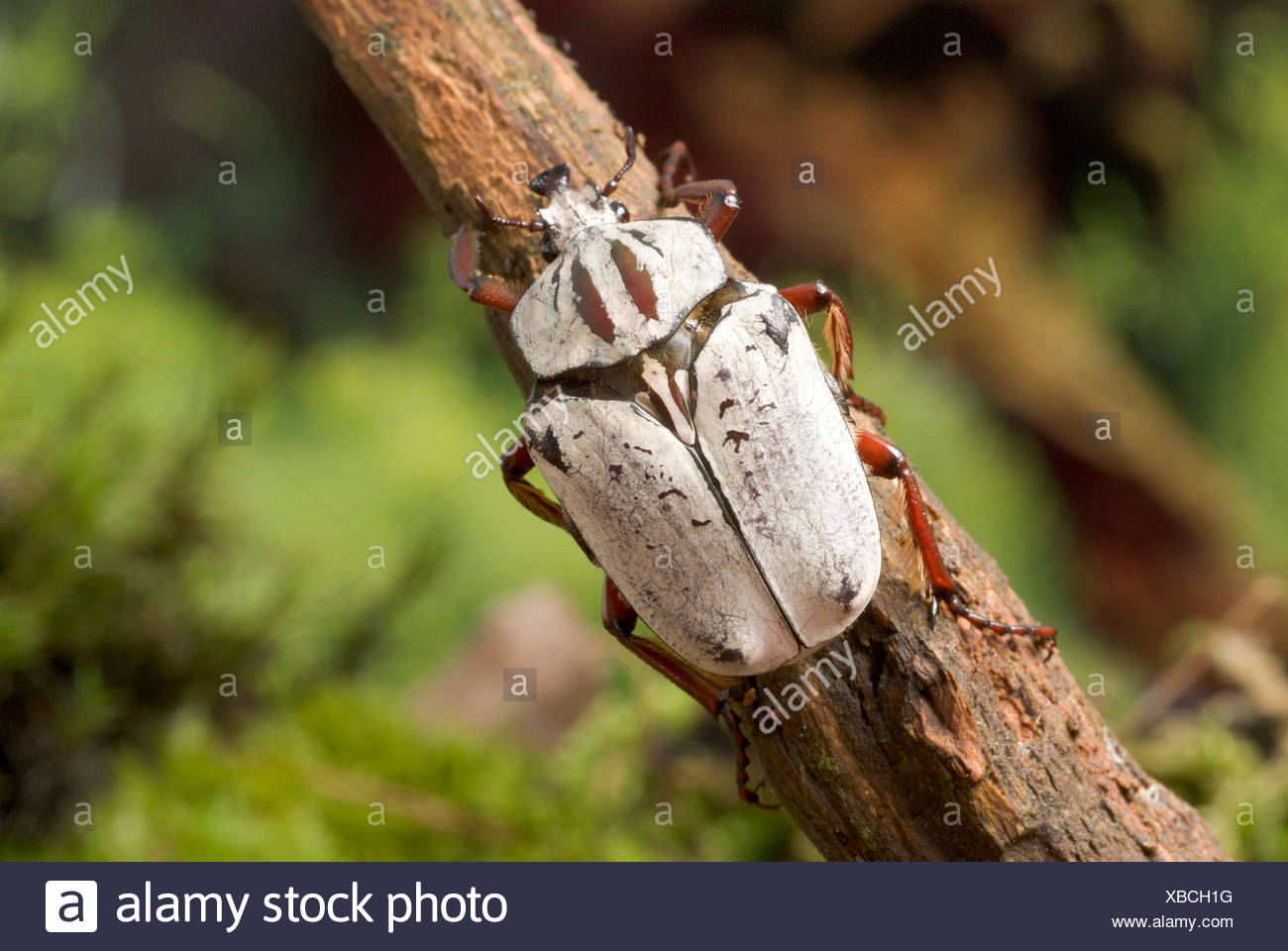 Chafer (Argyrophegges kolbei), on a twig - Stock Image