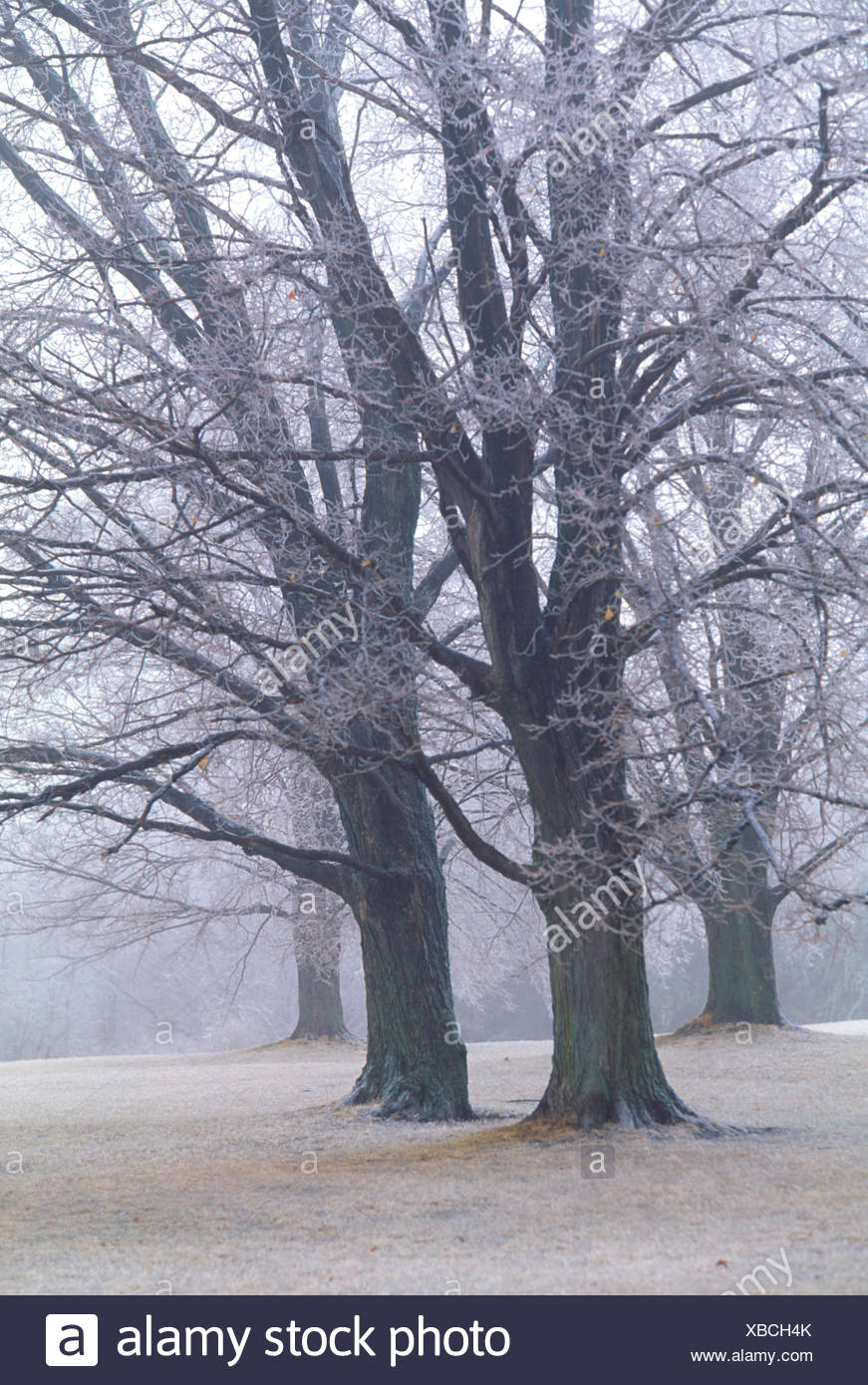 Wintery park with large bare trees - Stock Image