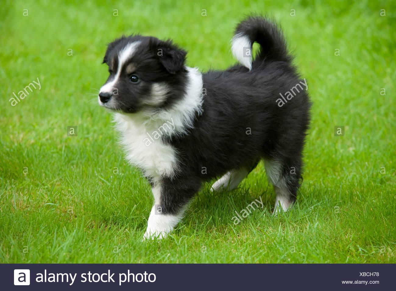 Border Collie Dog Puppy in garden UK - Stock Image