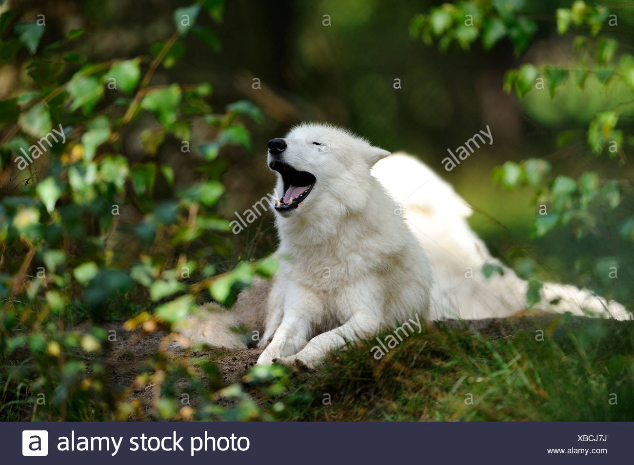 Arctic Wolf (Canis lupus arctos) howling - Stock Image