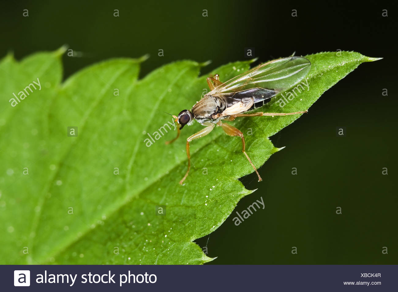 Fly (order Diptera, suborder Brachycera) Stock Photo