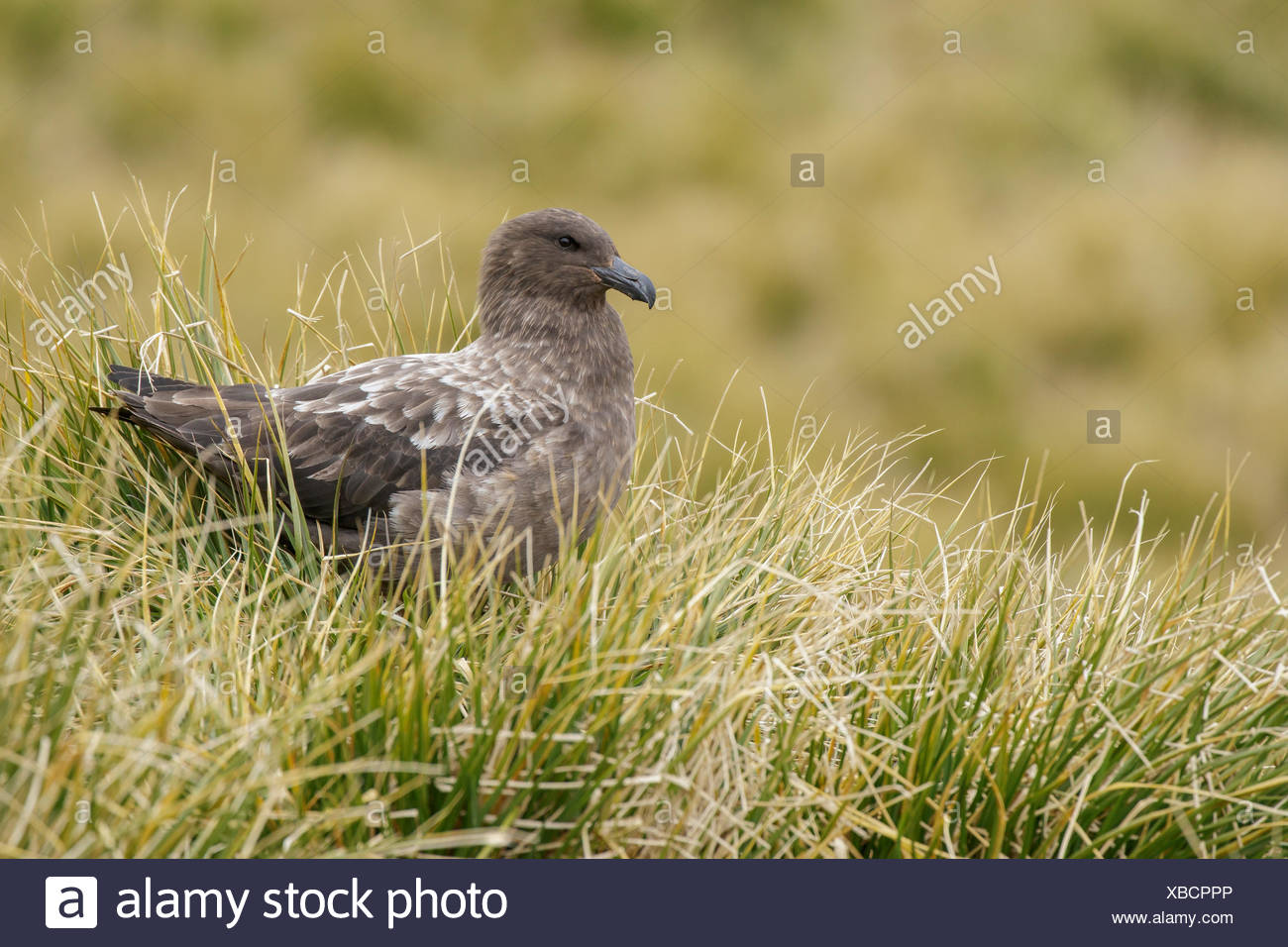 Brown Skua (Stercorarius antarcticus) perched on tussock grass on South Georgia Island. - Stock Image