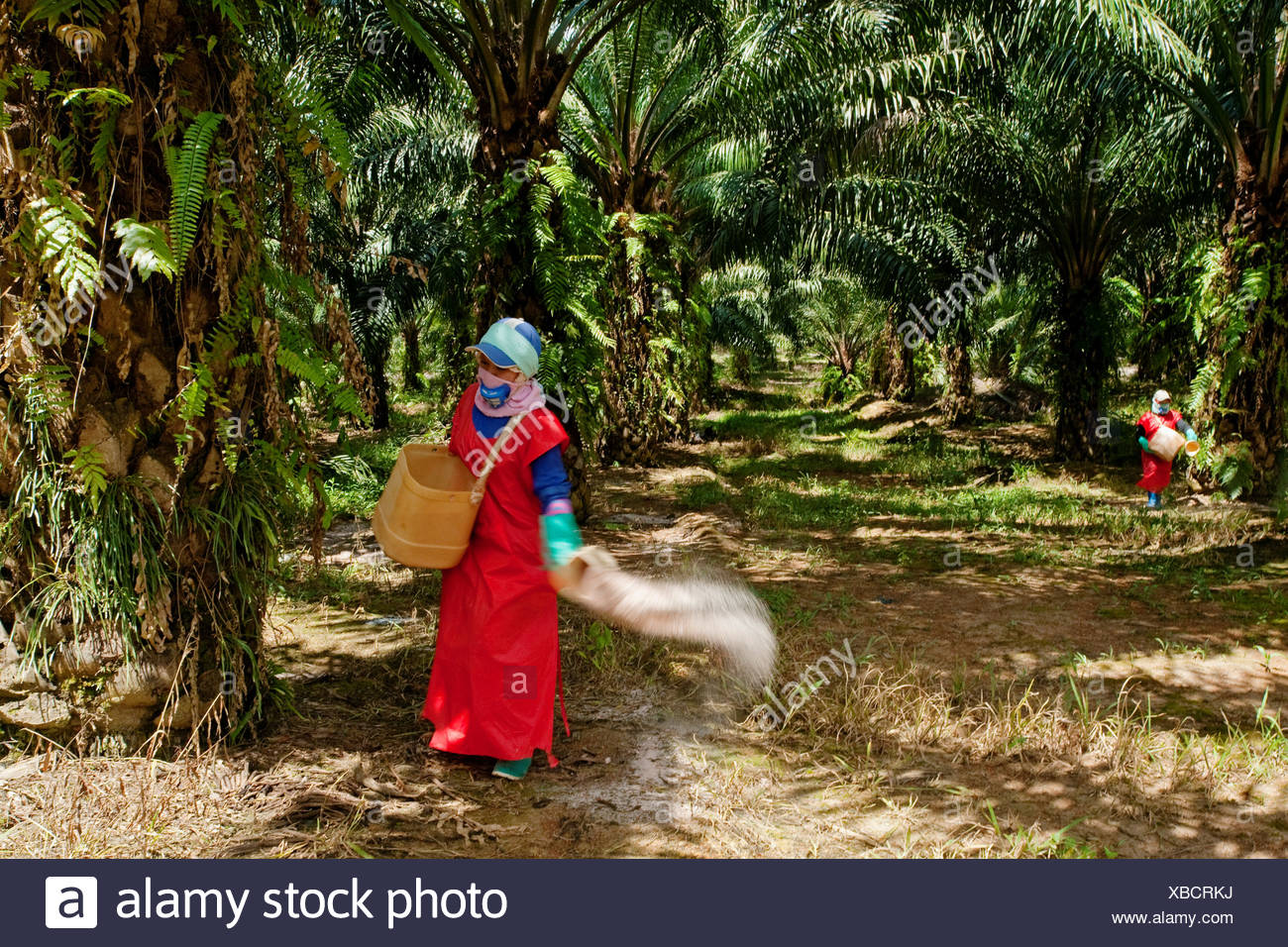 workers scattering fertilizer pellets oil palm plantation in malaysia oil palms are grown commercially produce palm oil which XBCRKJ - What kind of fertilizer you should choose for your palm tree?