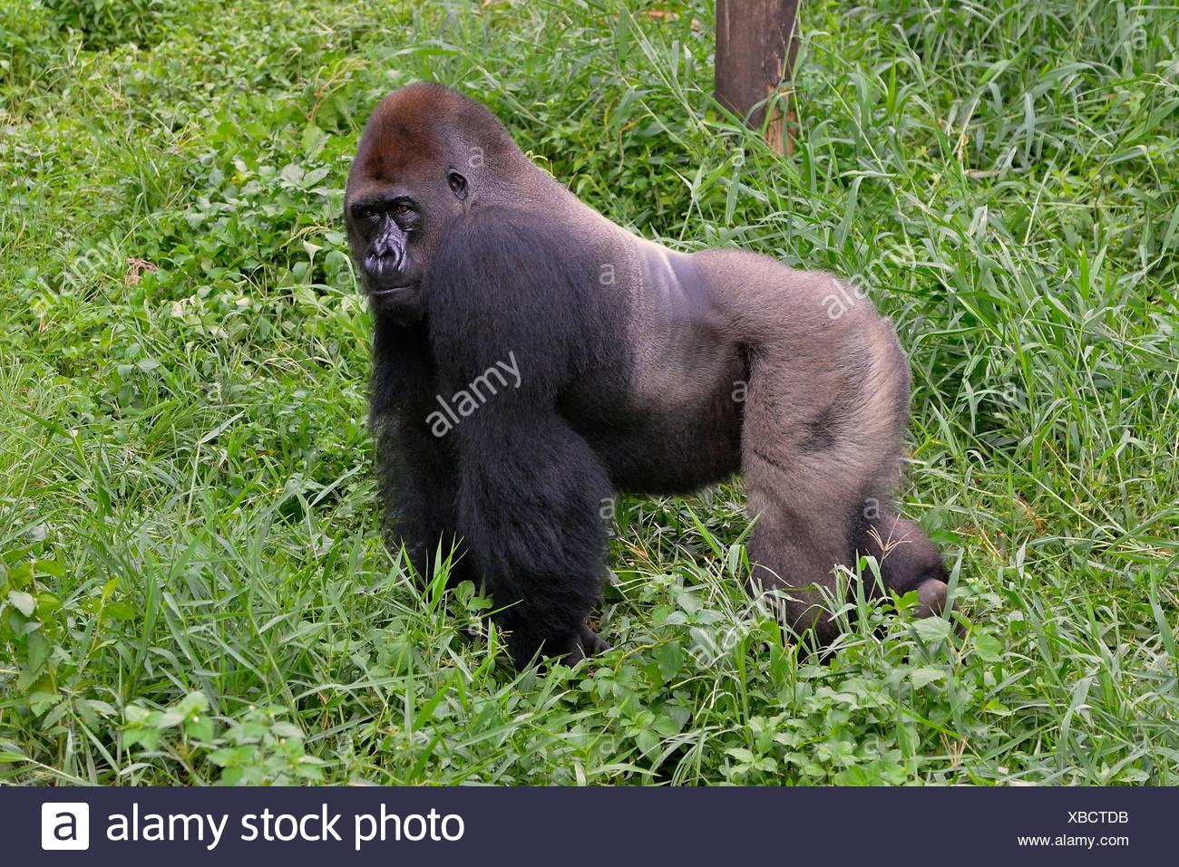 male silverback western lowland gorilla stock photos. Black Bedroom Furniture Sets. Home Design Ideas
