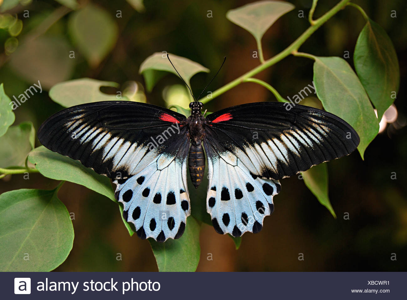 BLUE MORMON BUTTERFLY MALE Papilio polymnestor Papilionidae : Swallowtails - Stock Image