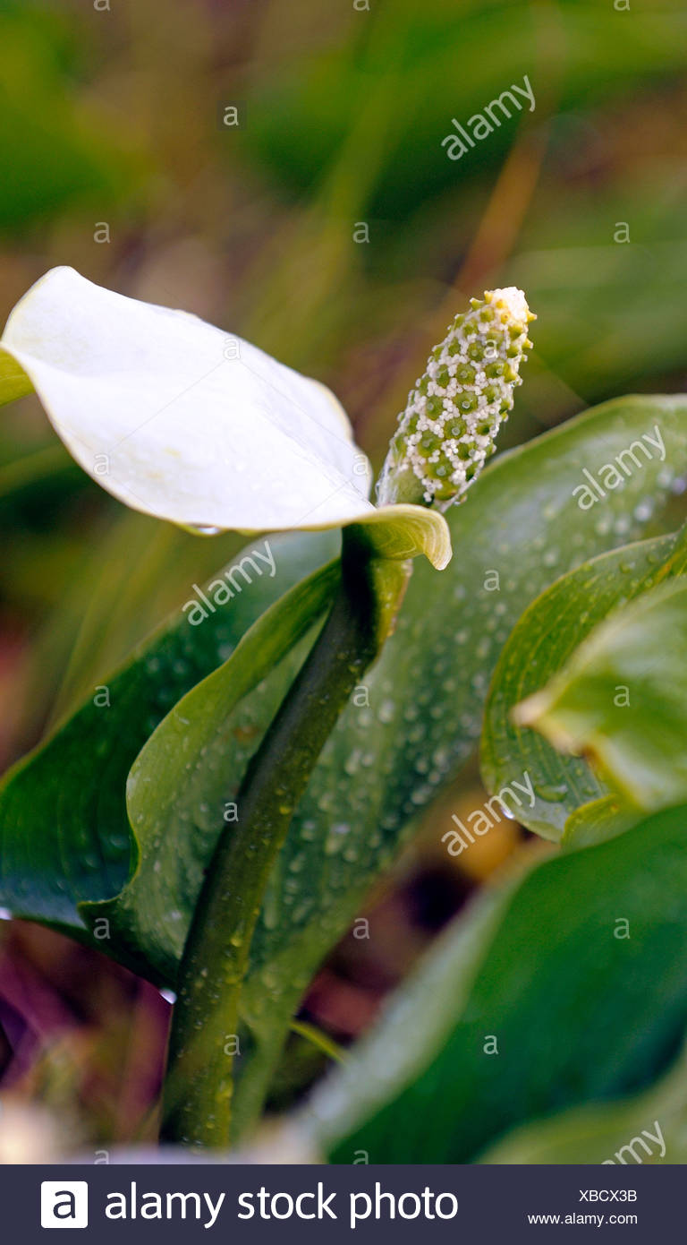 bog arum, wild calla (Calla palustris), blooming, Germany, Lower Saxony, NSG Grosses Torfmoor - Stock Image