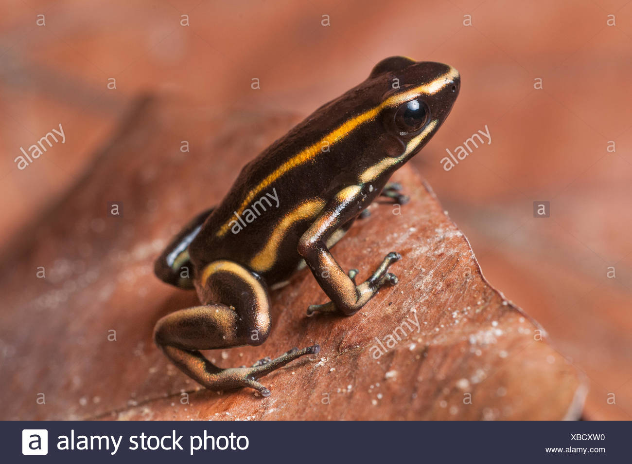 Yellow-striped Poison Dart Frog (Dendrobates truncatus) in leaf litter on forest floor, Paujil Nature Reserve, Magdalena Valley, Colombia, South America. - Stock Image