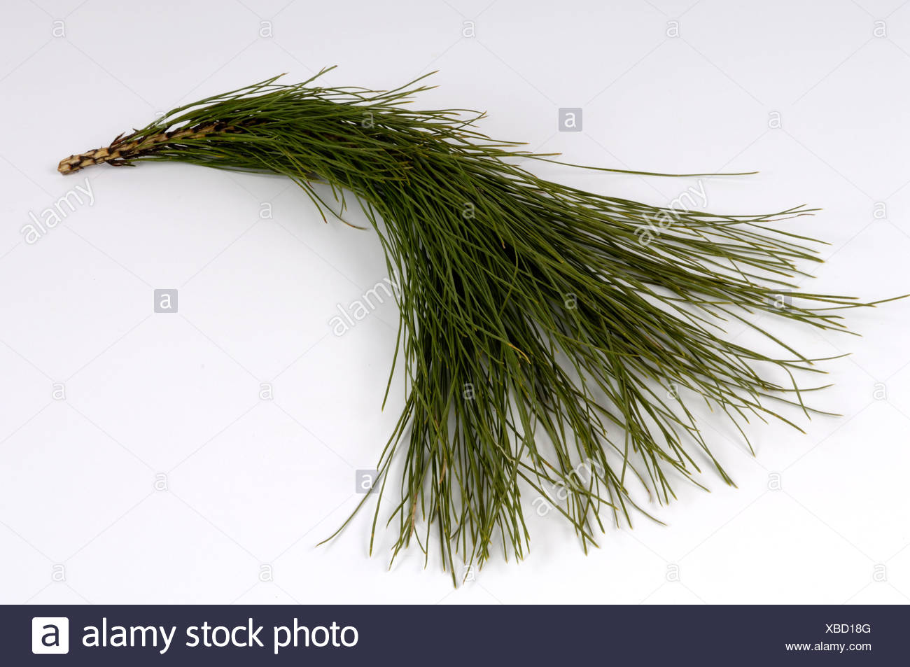 Canary Pine - Stock Image