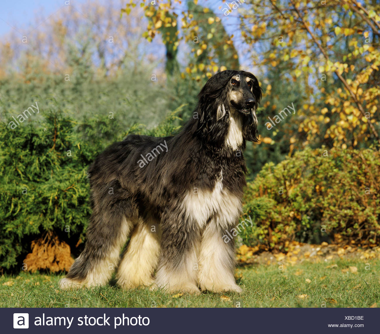 Afghan Hound, Adult Dog Standing on Grass Stock Photo