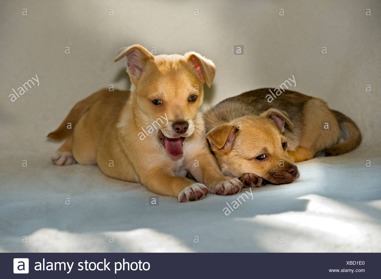 Cute Puppies Chihuahua Mix