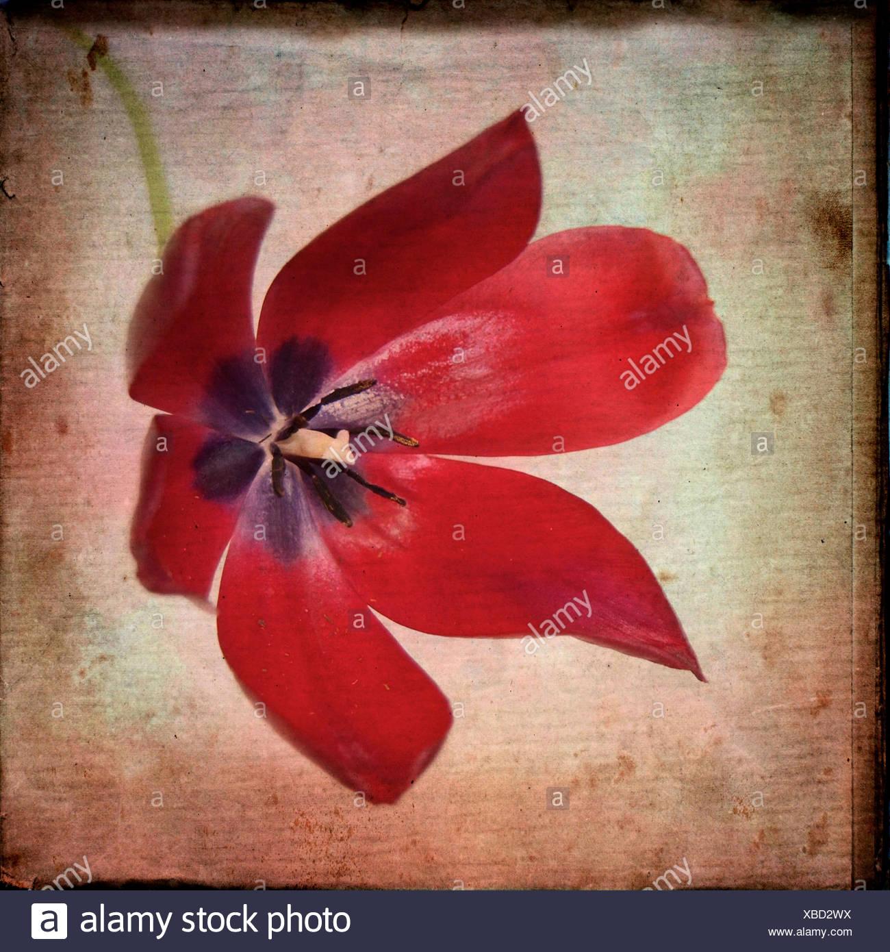 Red tulip - Stock Image
