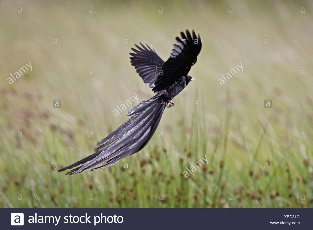 Long-tailed Widowbird (Euplectes progne), Naude's Pass, Eastern Cape Province, South Africa - Stock Image