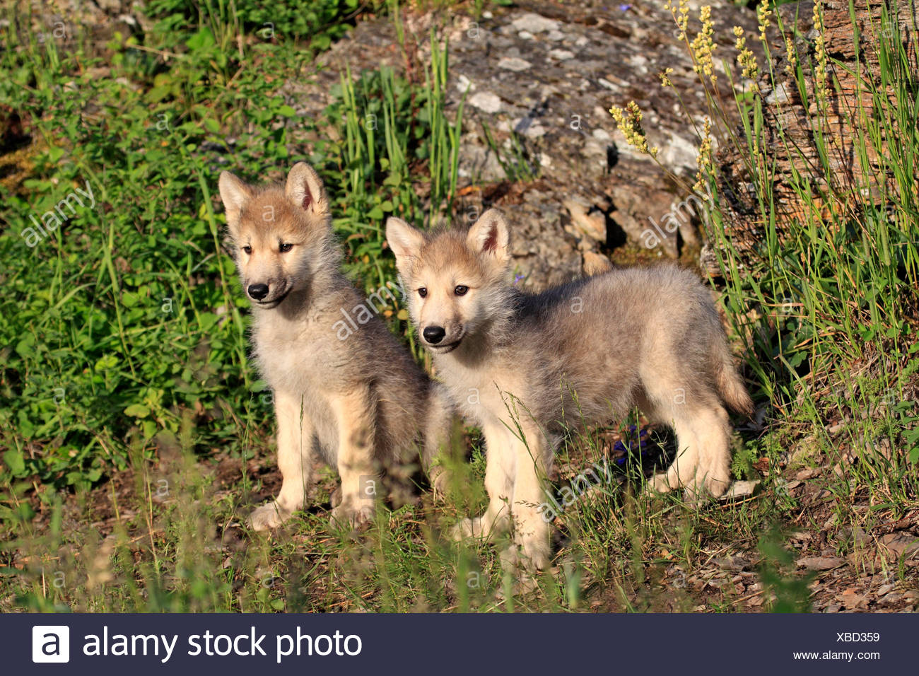 Wolf (Canis lupus) pups, eight weeks old, captive, Kalispell
