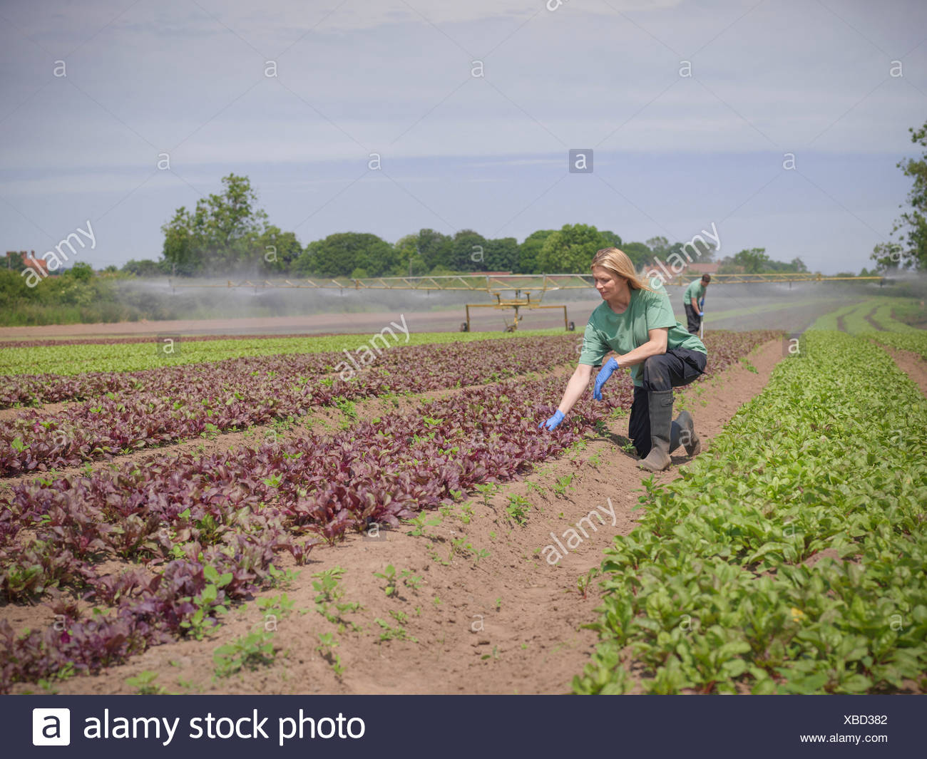 Woman inspecting salad crop - Stock Image