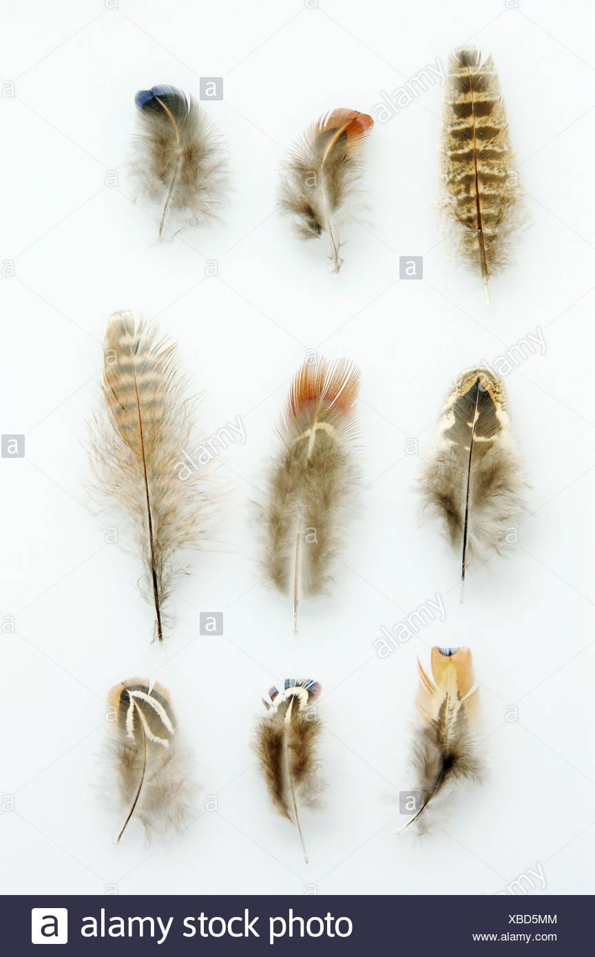 common pheasant, Caucasus Pheasant, Caucasian Pheasant (Phasianus colchicus), feathers, Germany, Ruhr Area - Stock Image