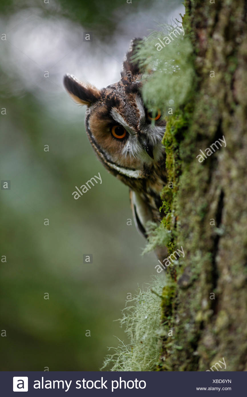 Long eared owl (Asio otus) peering round trunk of larch tree, Wales Stock Photo