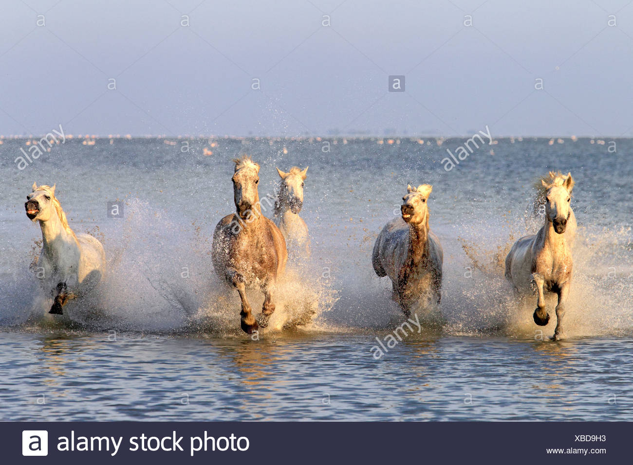 Camargue horses (Equus caballus), herd gallopping through water, Saintes-Marie-de-la-Mer, Camargue, France, Europe - Stock Image